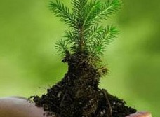 tree-sapling